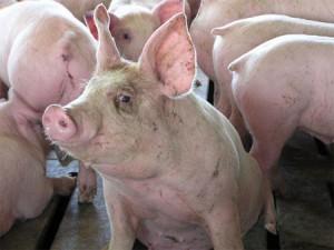 Евросоюз и Россия поссорились из-за свинины
