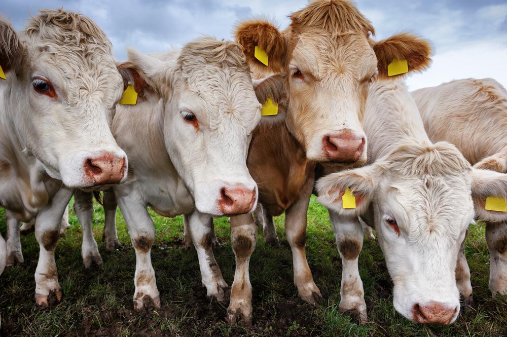 РФ запретила ввоз в Крым крупного рогатого скота и колбасы из Украины