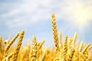 Минагропрод ожидает 60 млн тонн урожая зерновых