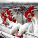 Рынок курятины ожидает нестабильная конъюнктура