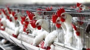 Украина увеличила на 15% производство курятины