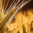 Не рынке не прогнозируется дефицит пшеницы