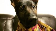 Полицейский пес, Австралия