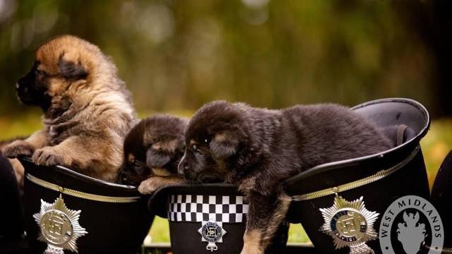 Подрастающие полицейские собаки, Британия