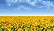 Allseeds переработала 120 тыс. тонн семян подсолнечника
