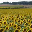 Урожай подсолнечника в Украине будет существенно ниже прогноза USDA