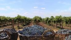 Урожайность винограда выросла втрое