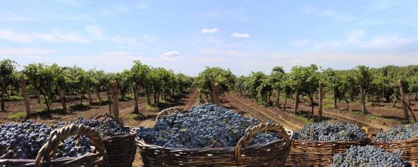 В Украине переработка винограда на виноматериалы выросла на 31%