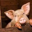 На промсектор свиноводства приходится 54% общего поголовья