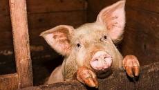 Спад поставок свиней на скотобойни оценен в 12%
