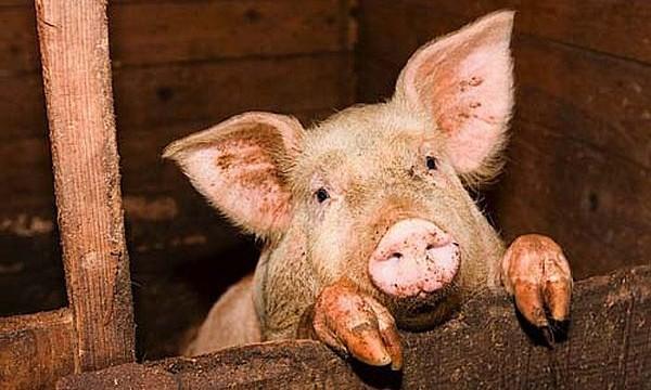 Поголовье свиней сократилось на 10%