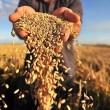 Экспорт пшеницы вырос до 9,5 млн тонн