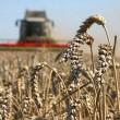 Урожай-2017: аграрии собрали 40 млн тонн зерновых