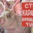 Из-за АЧС «Агропродсервис» сокращает свое поголовье до 8 тыс.