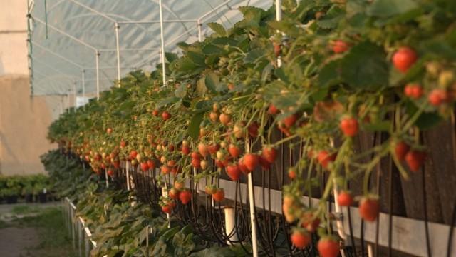 Цены на клубнику взлетели до 150 грн за 1 кг