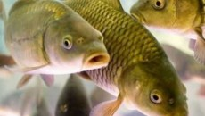 Промышленный вылов рыбы на Киевщине ограничат