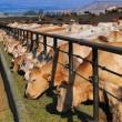 Молдова открывается для украинских животноводов