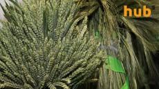 Урожай зерновых в 2018 году составил 70 млн тонн, - Госстат