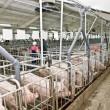 Лидером экспорта свиных субпродуктов стали Вьетнам и Гонконг