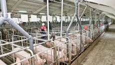 Украина нарастила экспорт живых свиней в 100 раз