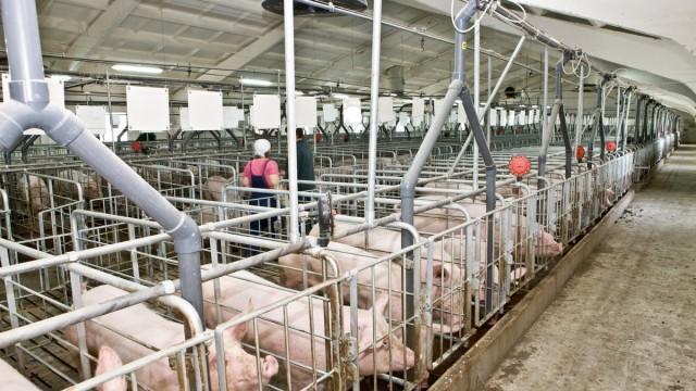 На одной из ферм Ивано-Франковщины произошла массовая гибель свиней