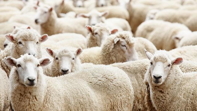 Украина стала экспортировать больше баранины и козлятины