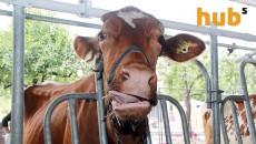 За год украинские коровы произвели более 10 млн тонн молока