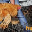 В Украине сократилось поголовье домашней птицы