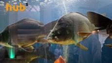 Компании-импортеры начнут выращивать рыбу в Украине