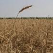 Сбор зерновых выходит на финиш