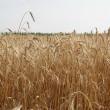 ИМК увеличил урожай зерновых, масленичных и картофеля