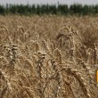 С полей собрали 43 млн тонн зерновых