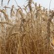 Началась уборка зерновых в Украине