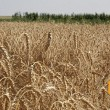 Валовой сбор зерновых превысил отметку в 63,3 млн тонн