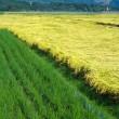 Китай установил мировой рекорд по урожайности риса