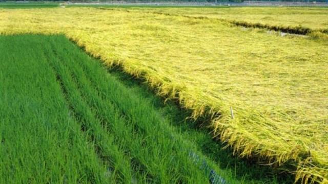 В Академии наук прочат рекордный урожай риса