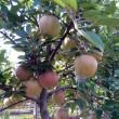 Экспортеры яблок, груш и айвы заработали $1,5 млн