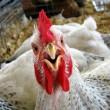 Украина нарастила экспорт мяса птицы