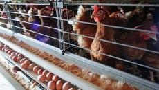 Продажи мяса птицы взлетели почти на полмиллиона гривен