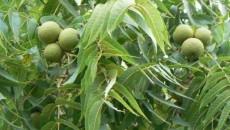 Хозяйство «Био-Трио» высадило 1 тыс. саженцев орехов