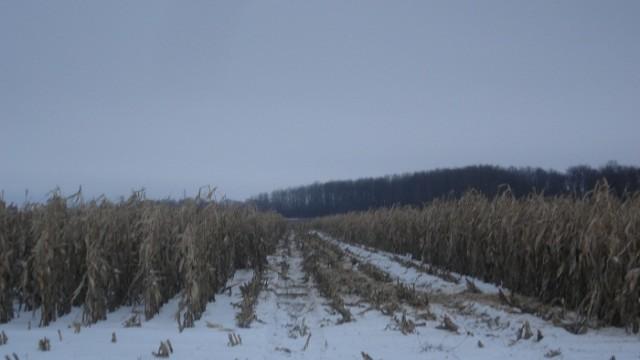 Общая площадь необмолоченных посевов кукурузы оценена в 600 тыс. га