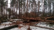 В Ирпене продолжается уничтожение сосново-дубового леса