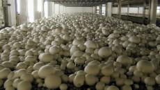 Китай захватил свыше 70% мирового производства грибов