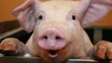 Экспорт свинины просел нав 2,9 раза