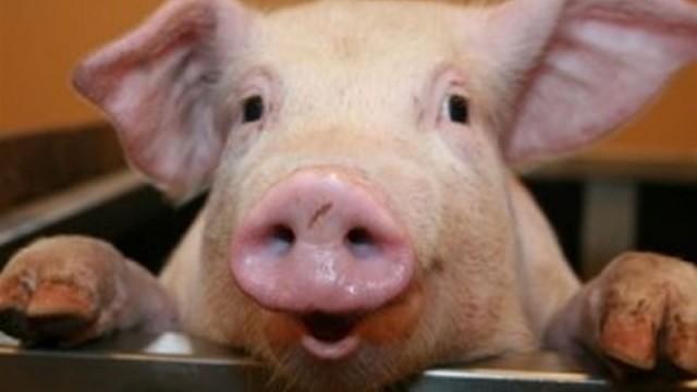 Дания лидирует в поставках свинины в Украину