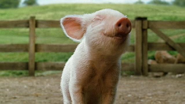 Стоимость товарных свинок повысилась
