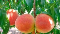 Садоводы подняли на экспорте плодов косточковых $870 тыс.
