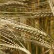 Украина собрала первый урожай зерновых