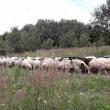Немцы заинтересовались украинскими овцами