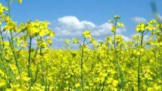 Украина продала за рубеж 3,5 млн тонн масличных